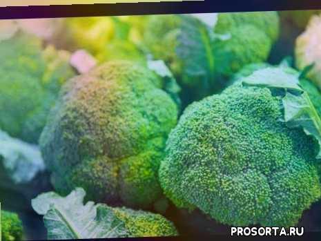 урожайный огород, способ выращивания, секрет выращивания, урожай капусты, подкормка, удобрение, удобрение для капусты, чем подкормить капусту