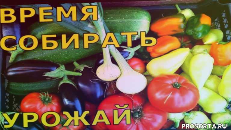 урожай помидоров, урожай огурцов, урожай баклажанов, урожай лука, мульча из травы, огурцы под мульчей, уход за свеклой, как вырастить клубнику