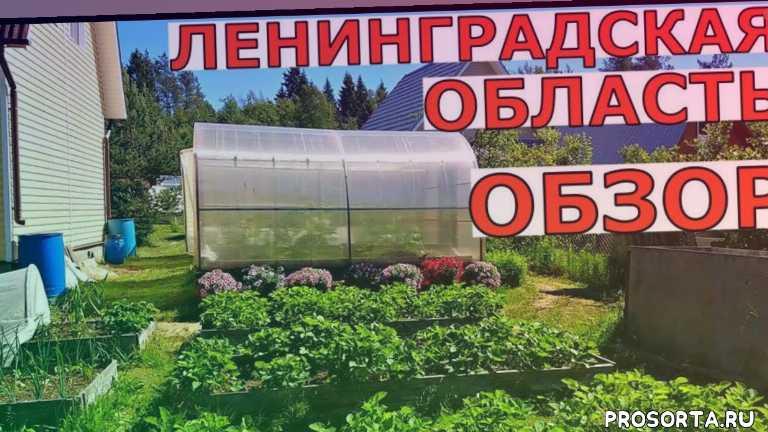 vogorode pro, в огороде про, про огород, в огороде, надежда ненахова, ленинградская область, арбузы в открытом грунте, выращивание в теплице