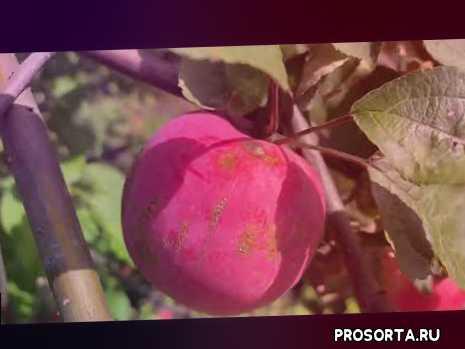 В Сибири начался сбор ранних сортов яблок.