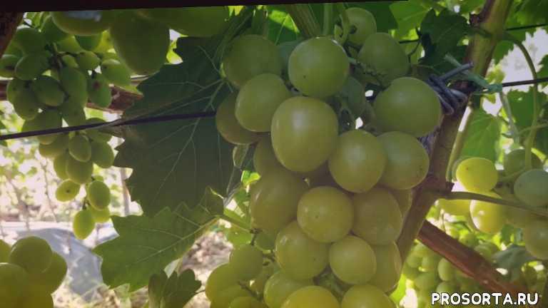 красивая гроздь, крупный, красивый, устойчивый к заболиваниям, неприхотливый, востребованный, супер ранний, вкусный