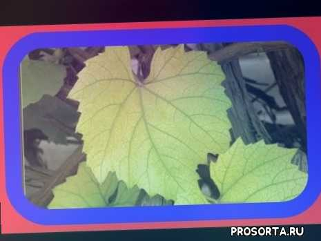 домашнее вина, рецепт вина, обрезка винограда, описание сортов винограда, виноград описание, саженцы винограда, посадка винограда, болезни винограда