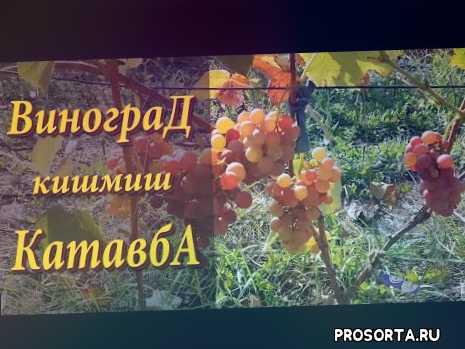 виноград, sokolman, sokolman sergey, ранние сорта винограда, новые сорта, vivat grapes, виноград видео, grape variety