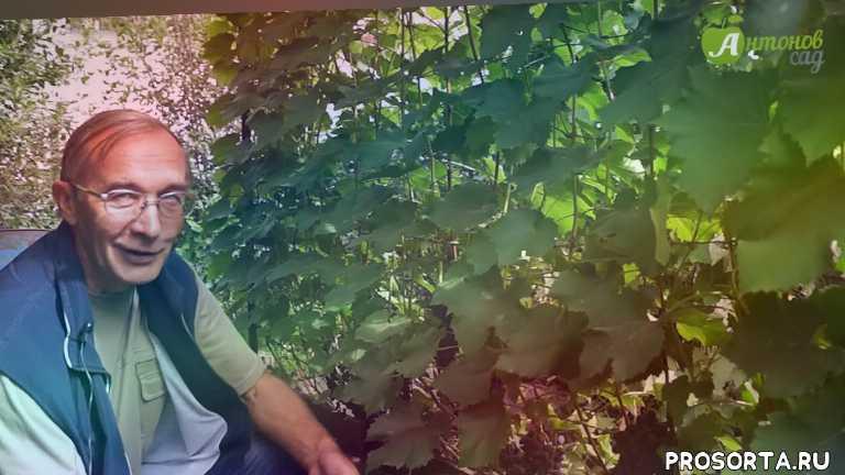 сорта винограда, северный виноград, виноградник, виноград в сибири, кишмиш, виноград