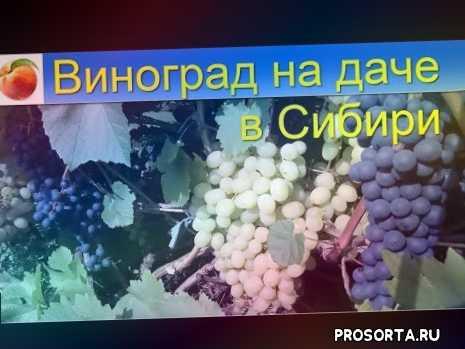 виноград зимой уход, хороший сорт винограда, обрезка, что делать с виноградом осенью, мой виноград, виноградник, моя дача, виноград в саду