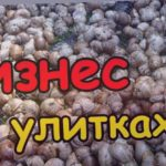 Виноградные улитки на ферме улиток  -  уход и разведение