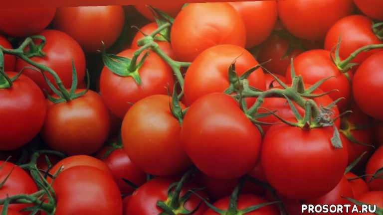 какой сорт помидор лучше, выбираем сорта томатов, что сажать, урожайные сорта помидор, лучшие сорта помидор, сорта помидор, урожайные сорта томатов, лучшие сорта томатов