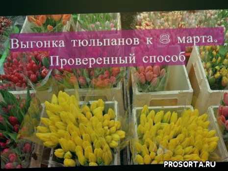 выгонка цветов, выгонка тюльпан, тюльпаны вогонка, тюльпаны в марте, цветы 8, цветы на 8 марта, 8 марта, выгонка тюльпанов к 8 марта