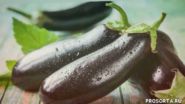 выращивание баклажанов в открытом грунте, баклажаны выращивание и уход, баклажаны выращивание рассады, теплица баклажан, баклажан овощ, как сажать баклажаны, баклажан перец, рассада баклажан