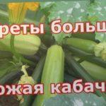 Выращивание кабачков, цуккини и патиссонов особым способом. Всегда будете с урожаем
