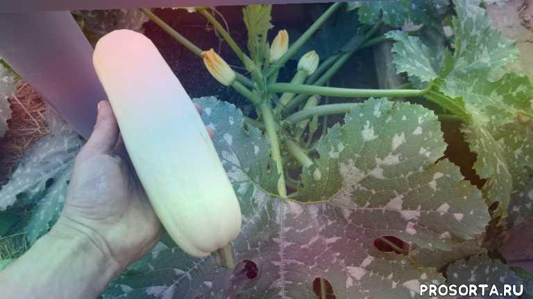 огород, зеленая планета, когда сажать кабачки, выращивание кабачков в теплице, расссада кабачков, рассада, выращивание кабачков, кабачки