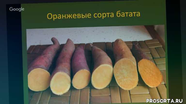 батат в украине, уход за бататом, нв-101, микосан, риверм, органическое земледелие, органический батат, батат