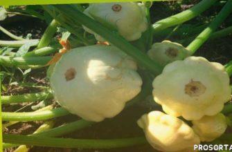 участок, дача, уход и урожай, грядки, открытый грунт, уход за патиссонами, компостная грядка, выращивание кабачков
