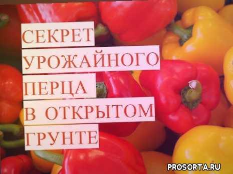 выращивание перца в теплице, перец выращивание и уход, выращивание перца в открытом грунте, выращивание перцы +в грунте, выращивание перца видео, выращивание сладкого перца, выращивание домашнего перца, условия выращивания перца