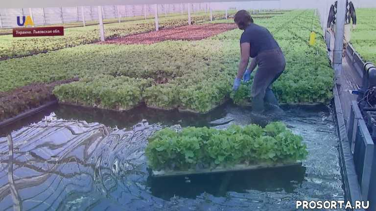 инвестиции, теплица, гидропоника, выращиване салата, агробизнес, uatv russian, ukraine, uatv