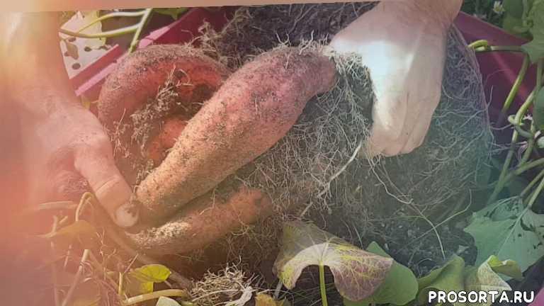 Вырастить батат в ведре. Эксперимент 2018