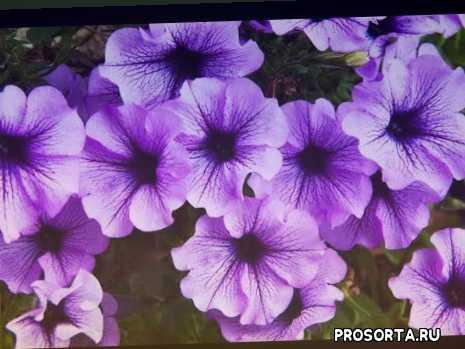садовые цветы, вырастить красавицу петунию, посадка петунии сад огород своими руками, цветоводство, выращивание рассады, пересадить, петуния в домашних условиях, уход за рассадой