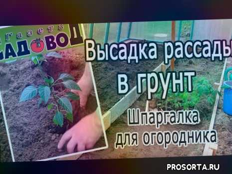 высадить рассаду помидор, высадить рассаду огурцов, высадить рассаду овощей, высадить рассаду кабачков, заглублять до семядольных листочков, высаживать рассаду, сажать рассаду, почва для перцев