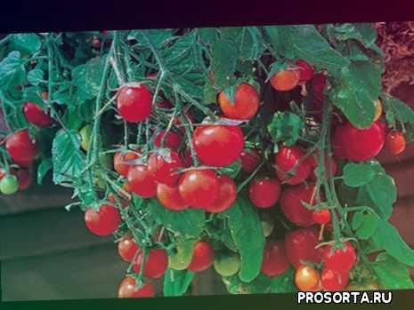 рассада, огород, томаты, помидоры, sergeyoliamaster, сергей мастер, sergejmaster, sergejmaster.com