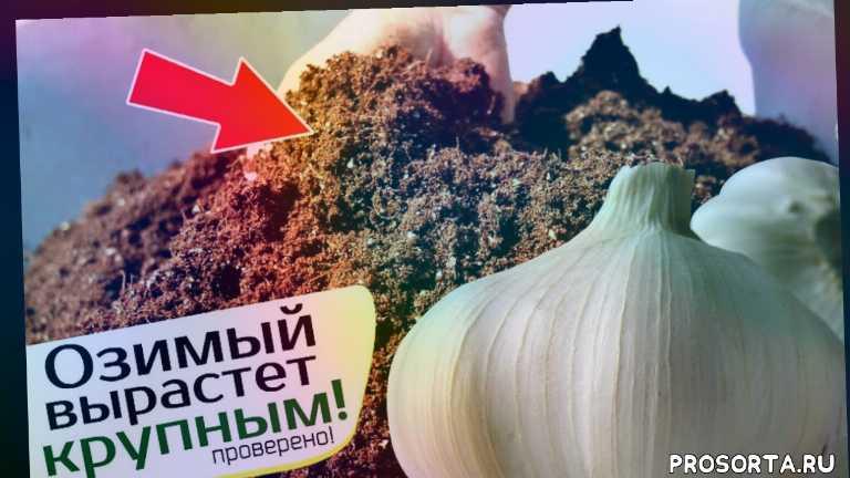 чеснок озимый сажат ь, чеснок посадка удобрение, подкормка грядки под озимый чеснок, грядка под озимый чеснок, посадка озимого чеснока, подкормка озимого чеснока, озимый чеснок удобрение, озимый чеснок