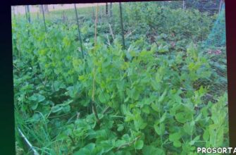 home garden, green peas, strawberry (organism classification), гнздо медведки., смешанные посадки, высокие грядки, зеленый лук, .garden