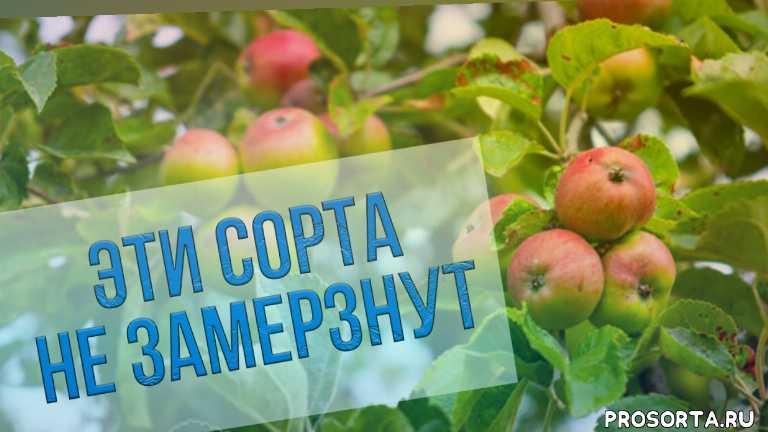 антонов сад, как вырастить яблоки в сибири, яблони сибирь, какие яблони посадить в саду, сорта яблонь, богатый урожай яблонь, как подкормить яблони осенью, как подкормить саженцы