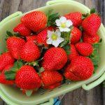 Как выбрать саженцы клубники для посадки и урожая