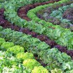 Салат (растение). Его разновидности и особенности выращивания