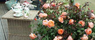 Как сажать и выращивать розы в горшках?