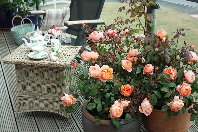 как нужно выращивать розы